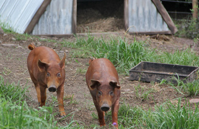 Plett free range pigs for the best quality pork in the Garden Route. Buy your piglet from us.
